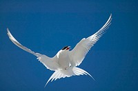 Southamerican tern (Sterna hirundinacea). Falkland Islands