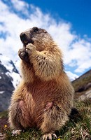 Alpine Marmot (Marmota marmota), Hohe Tauern National Park. Carinthia, Austria