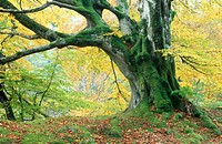 Old beech tree in autumn. Tayside, Scotland, UK