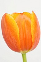 Orange tulip, close-up