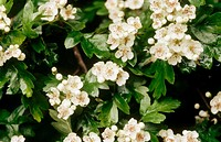 Hawthorn (Crataegus monogyna) flowers in blossom. Buckinghamshire, England, UK