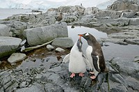 Gentoo penguin (Pygoscelis papua), feeding chick. Port Lockroy. Antarctic Peninsula.
