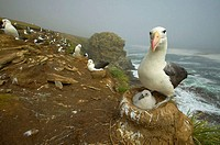 Black-browed albatros (Diomedea melanophris). Falkland Islands, South Atlantic