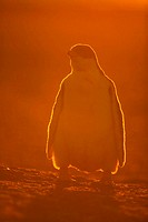 Gentoo penguin (Pygoscelis papua) back-lit chick. Falkland Islands, South Atlantic