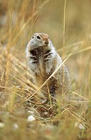 Squirrel (Spermophilus parryi), Denali National Park. Alaska, USA