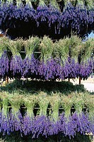 Drying lavender bunches. Provence. France