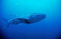 Whale Shark (Rhincodon typus), Thailand, Andaman Sea.