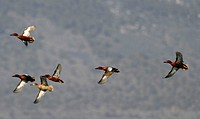 Small flock of cinnamon teals (Anas cyanoptere) in flight, Tule Lake, CA.