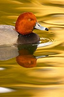 Redhead Duck (Aythya americana), male