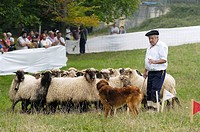 Herding dog competition