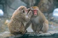 Japanese macaque (macaca fuscata), Jigokudani. Honshu, Japan, Asia.