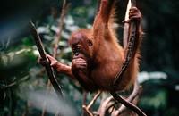 Orangutan (Pongo pygmaeus). Gunung Leuser National Park. Sumatra. Indonesia