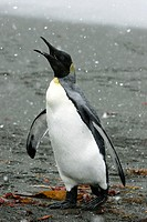 Adult King Penguin (Aptenodytes patagonicus) during snowstorm on South Georgia Island, southern Atlantic Ocean
