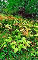 Chestnut trees and ferns. Murias, Los Ancares,  Lugo province, Galicia. Spain