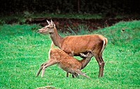 Red Deer, female nursing young,  (Cervus elaphus)