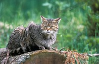 Common Wild Cat, European Wild Cat, Felis silvestris