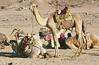 Egypt, Egypt, Sharm el Sheikh, Bedouin tribes people and camels