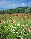 Italy, Tuscany, Val d´Orcia, poppy and daisy field