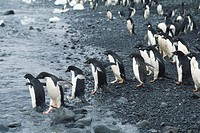 Adelie penguins (Pygoscelis adeliae) walking into sea