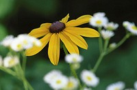Narrow-leaved sunflower (Helianthus angustifolius)