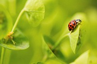Ladybug on plant, close-up (focus on ladybug)