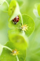 Ladybug on plant, elevated view (focus on ladybug)