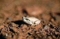 Desert tree frog (Litoria rubella). Great Sandy desert. Western Australia