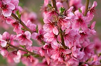 Peach tree (Prunus persica) in blossom. La Rioja, Spain