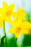 Daffodils (Narcissus sp.)