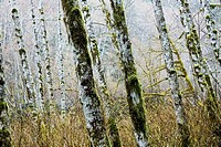 Grove of Red Alder (Alnus rubra) near the San Juan River. Vancouver Island, British Columbia, 28 Mach 2006
