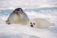 Mother and cub Harp seals, Canada