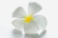 Thailand,White Frangipani blossom on white background