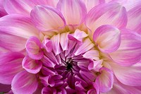 Close-up of a dahlia