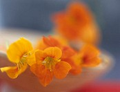Nasturtium in bowl, close up