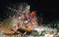 Tompot Blenny (Parablennius gattorugine) catching Goby (Pomatoschistus pictus). Galicia, Spain