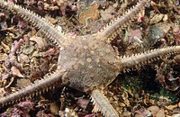 Brittle Star (Ophiura ophiura). Galicia, Spain