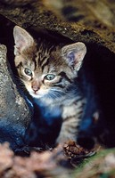European Wildcat (Felis silvestris). Spain