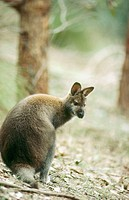 Red-necked Wallaby (Macropus rufogriseus)