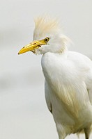 Cattle Egret (Bubulcus ibis)