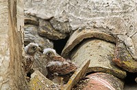 Lesser Kestrel (Falco naumanni) chicks