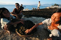 A family spreads freshly harvested seaweed out in the sun to dry. Nha Trang. Khanh Hoa province. Vietnam.