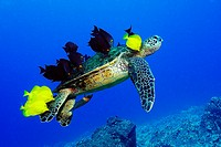 Green sea turtle, Chelonia mydas, gets cleaned by yellow tangs, Zebrasoma flavescens and lined bristletooth, Ctenochaetus striatus, Kailua-Kona, Hawai...