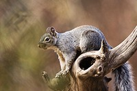 Arizona Gray Squirrel (Sciurus arizonensis)