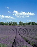 Lavender fields, Provence, Fance