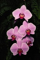 Moth orchids (Phalaenopsis sp.), overhead view