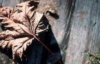 Dried leave on wooden ground (thumbnail)