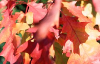 Coloured leaves of an oak tree