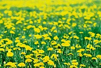 Meadow with blooming dandelion