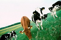 Cows in the meadow, browsing