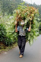 Peasant carrying ferns - forage for the cattle Area of Faial - Madeira Isaland - Portugal